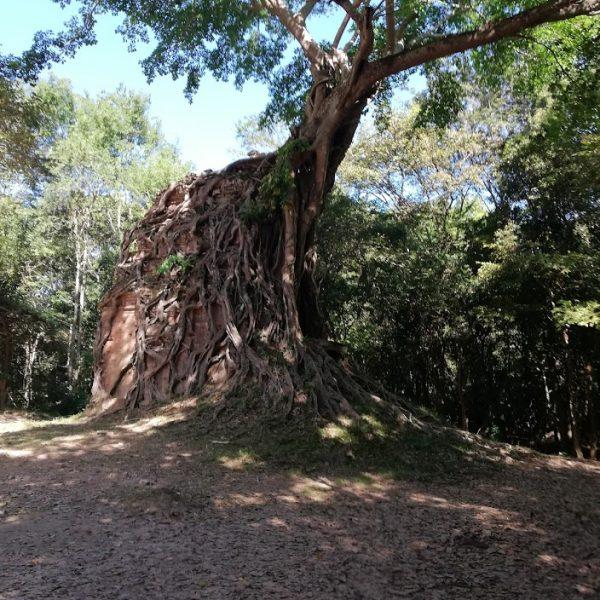 tree covered temple at Sambor Prei Kuk